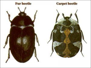 12.-Carpet-Beetle-vs-Fur-Beetle1.jpg