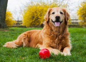 senior-golden-retriever-with-ball-picture-id488657289.jpg