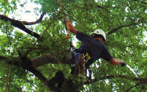 employee-in-tree-cutting-old-limbs-on-a-large-tree.png